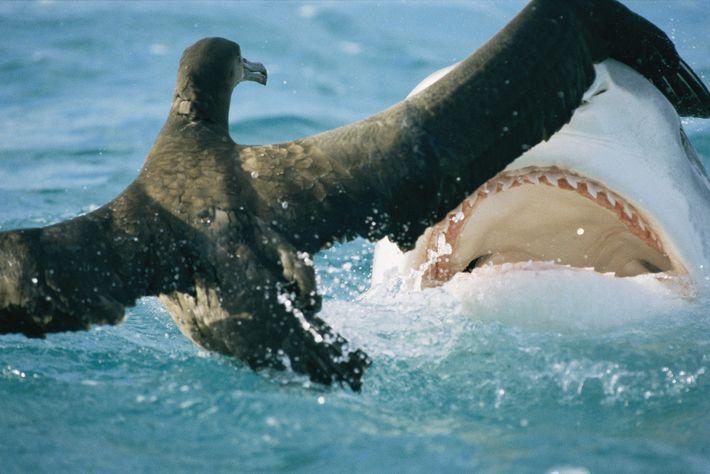 A shark threatens a fledgling albatross on French Frigate Shoals in Hawaii.