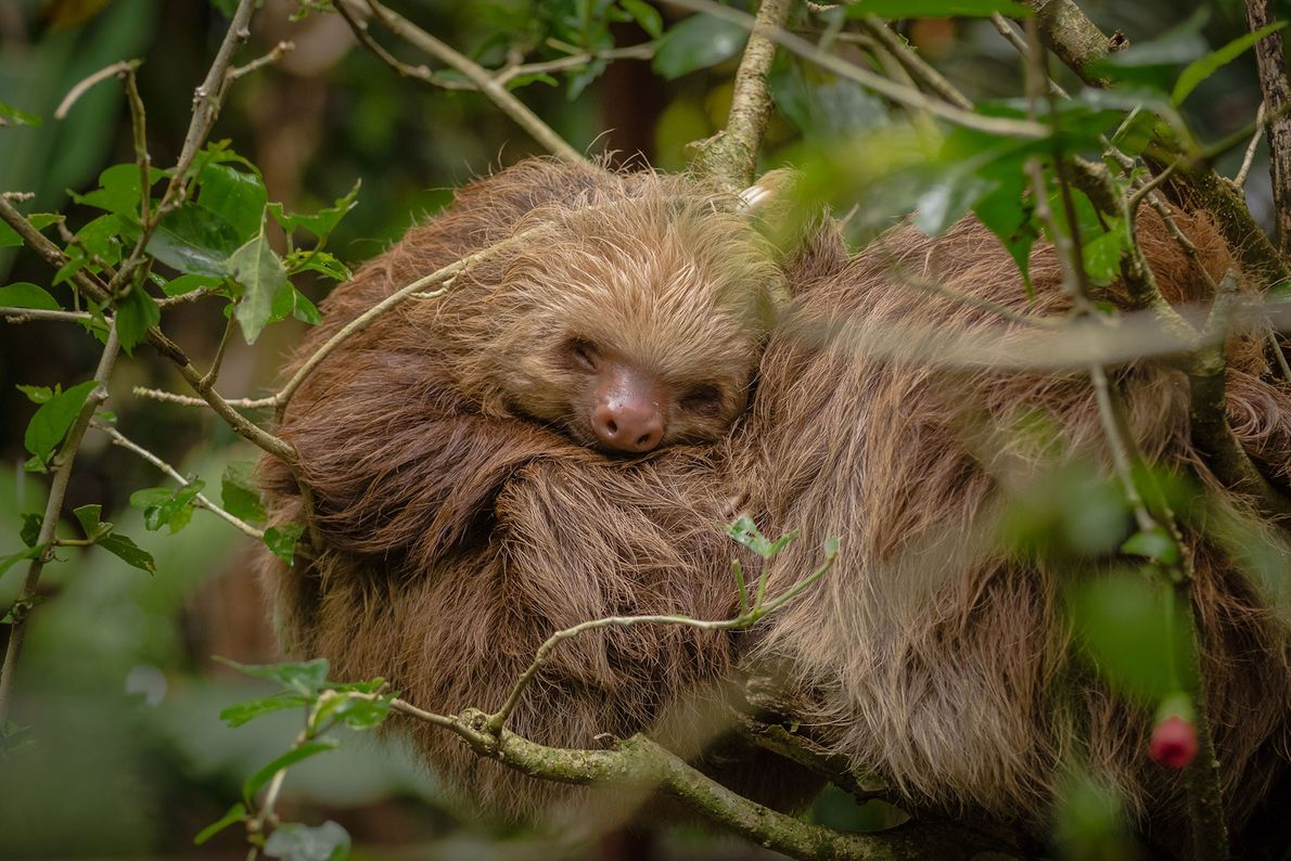 An orphaned sloth takes a nap at the Jaguar Rescue Center in Costa Rica.