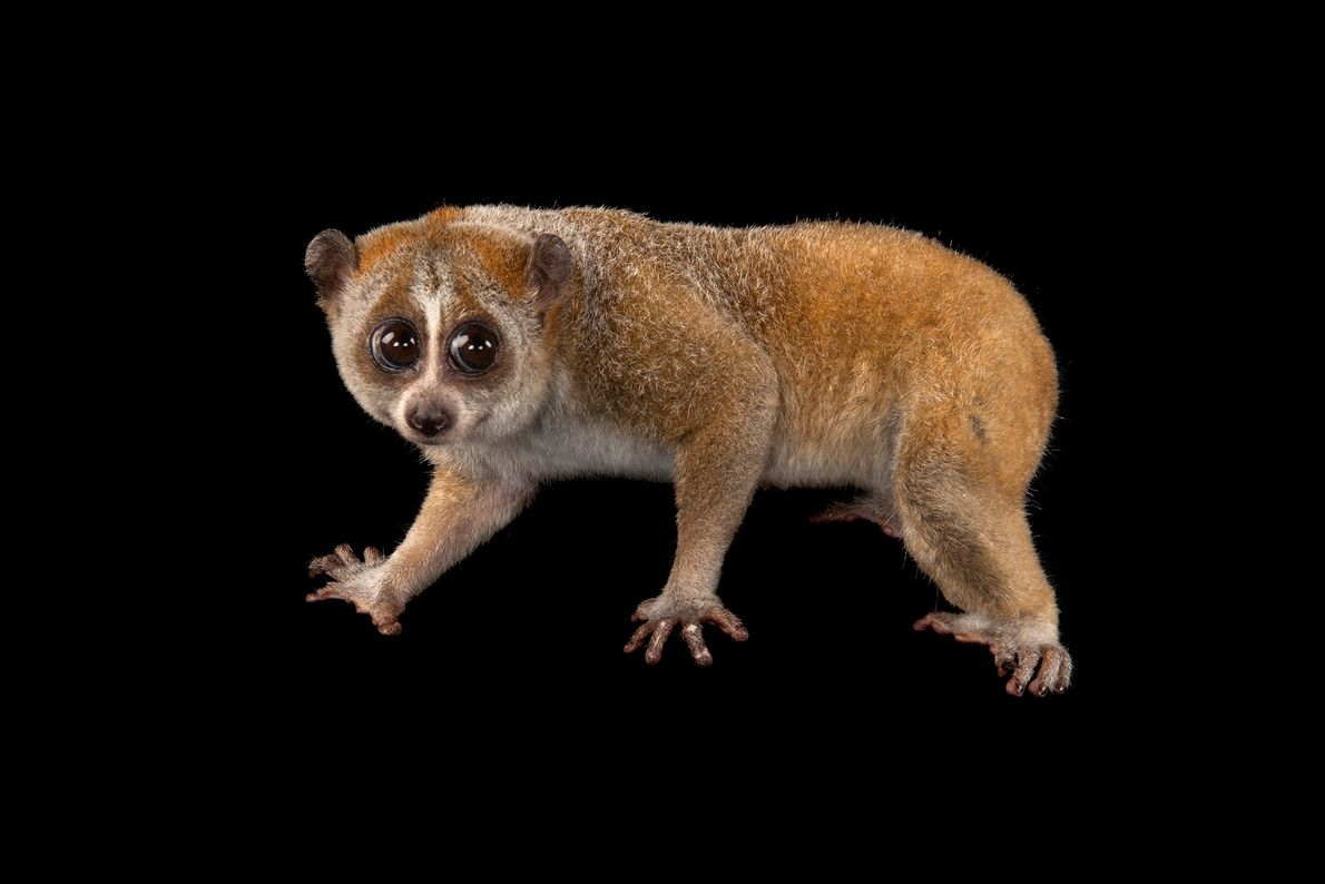 The pygmy slow loris is found in Vietnam, Laos, eastern Cambodia, and China. It is listed ...