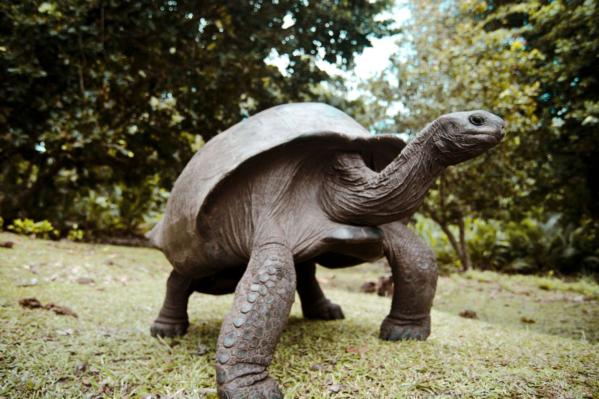 An Aldabra giant tortoise, spotted at Curieuse Island in the Seychelles.