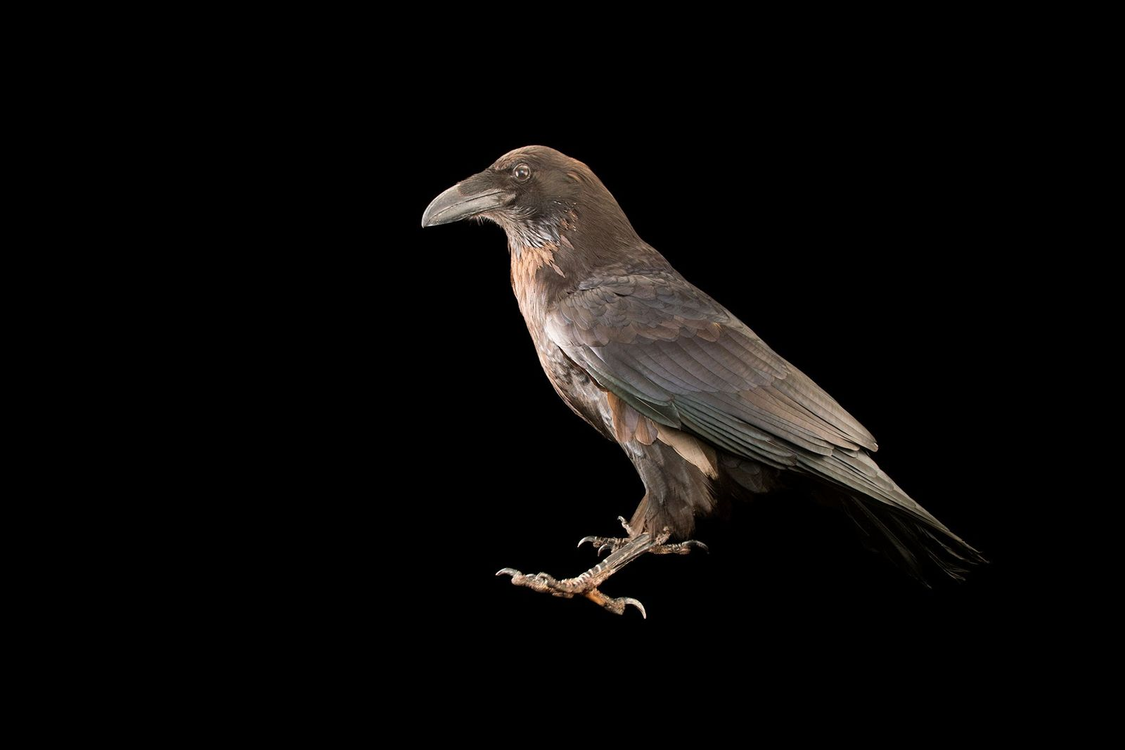 A common raven, Corvus corax principalis, pictured at the Los Angeles Zoo. Though they share many ...