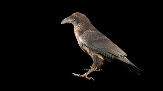 Why Ravens and Crows Are Earth's Smartest Birds