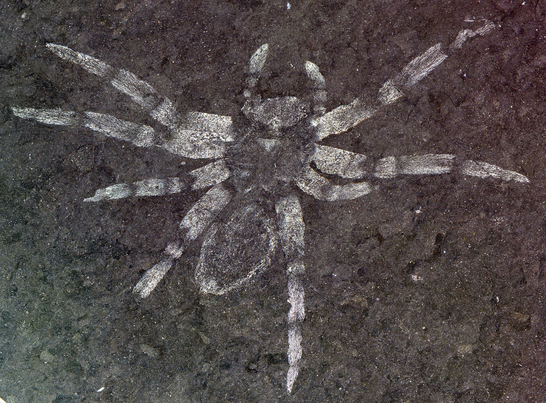 The defining specimen of Koreamegops samsiki, a newfound species of spider that lived in what is ...