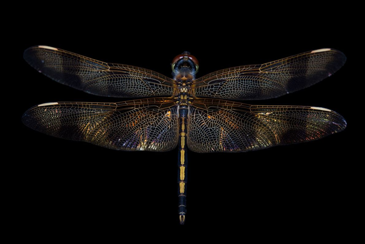A Halloween pennant dragonfly (Celithemis eponina)