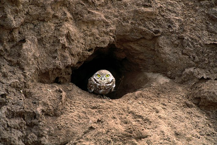 A burrowing owl sits at the entrance to its burrow in Florida.