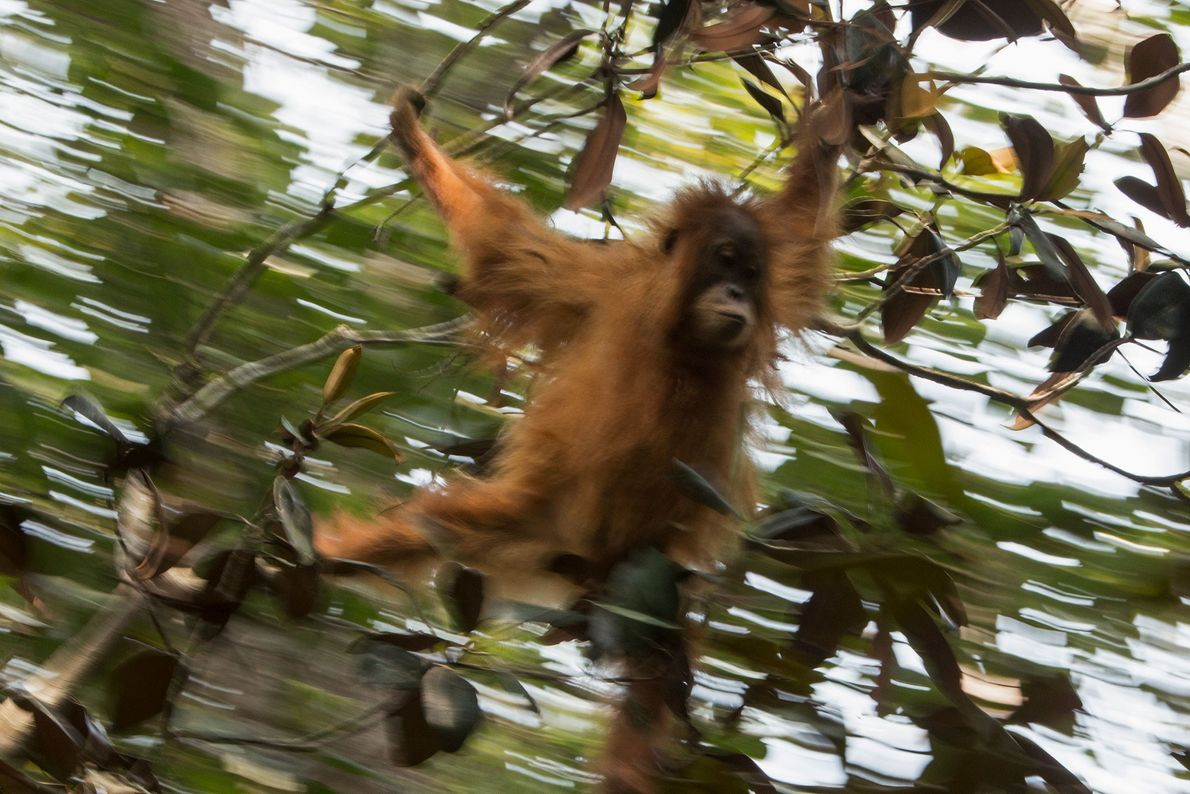 A young female Tapanuli orangutan swings through the trees.
