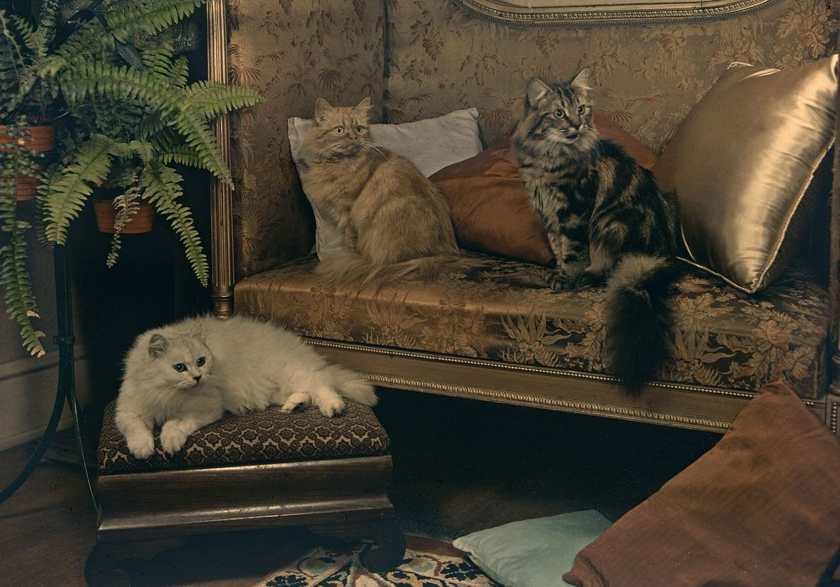 "A trio of Persian cats—which Eddy described as ""unusually affectionate""—recline on furniture in Silver Spring, Maryland."