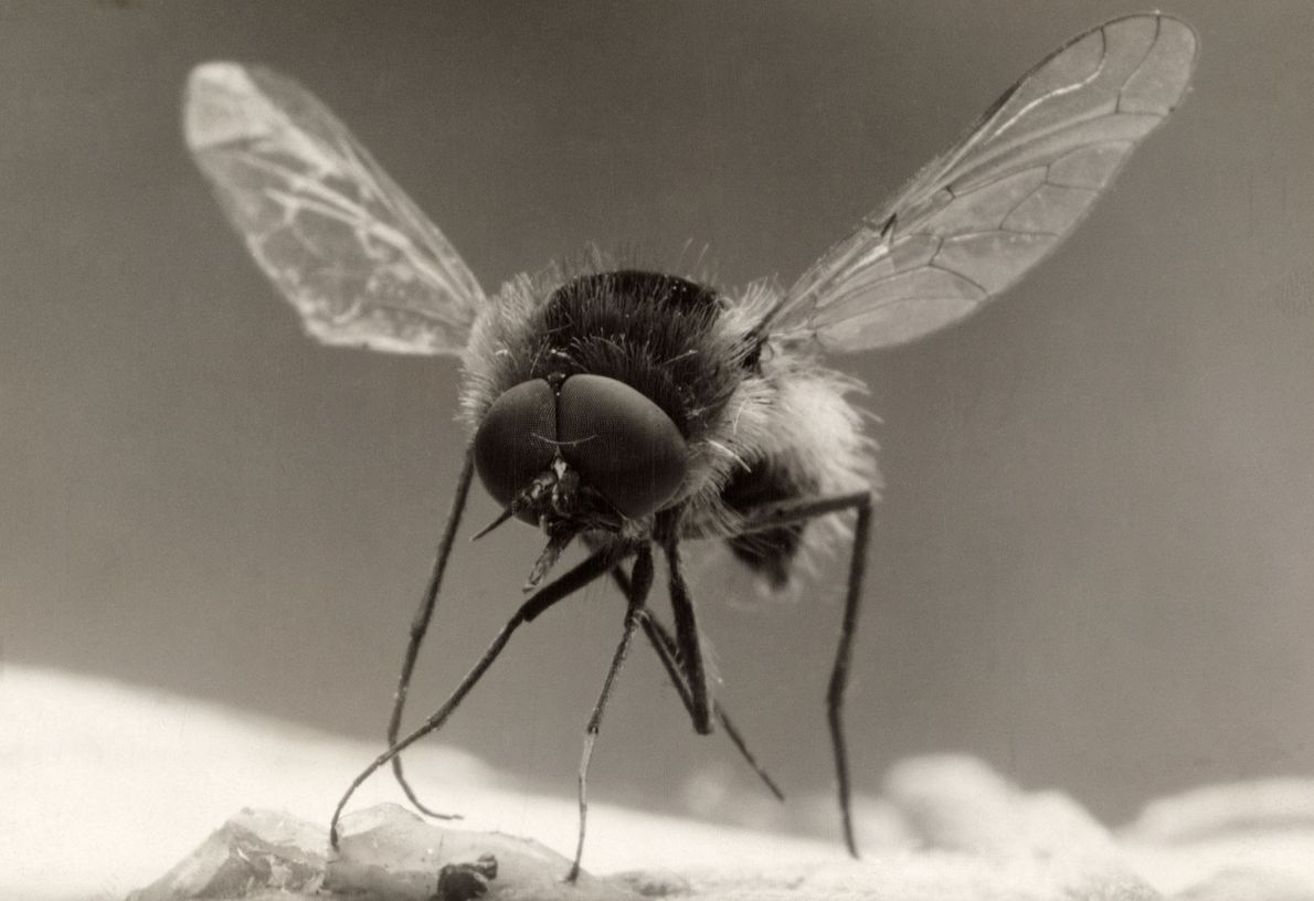 Widespread throughout Europe, North America, and Asia, the bee fly is a fly that looks like ...