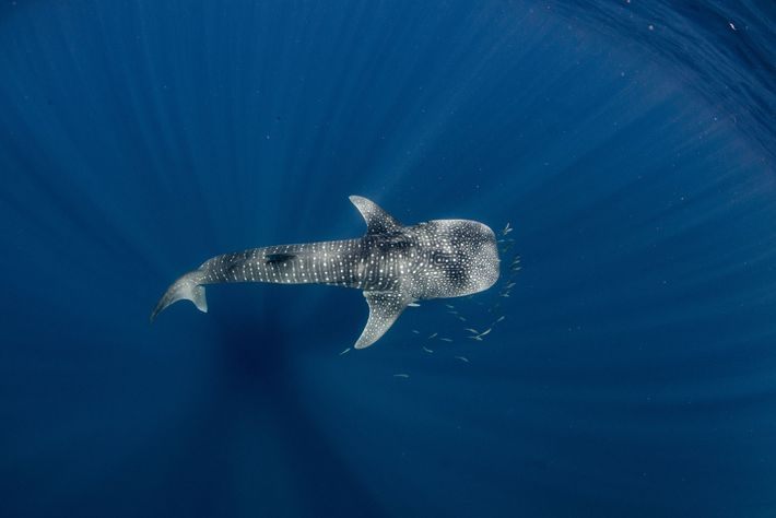The pattern of spots on the skin of whale sharks is unique to each individual.