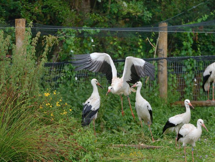 Captive reared juvenile White stork (Ciconia ciconia) flying from an opening in a temporary holding pen ...