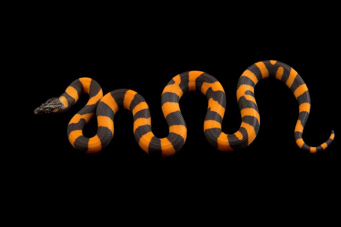 A bismarck ringed python, 'Bothrochilus boa'.