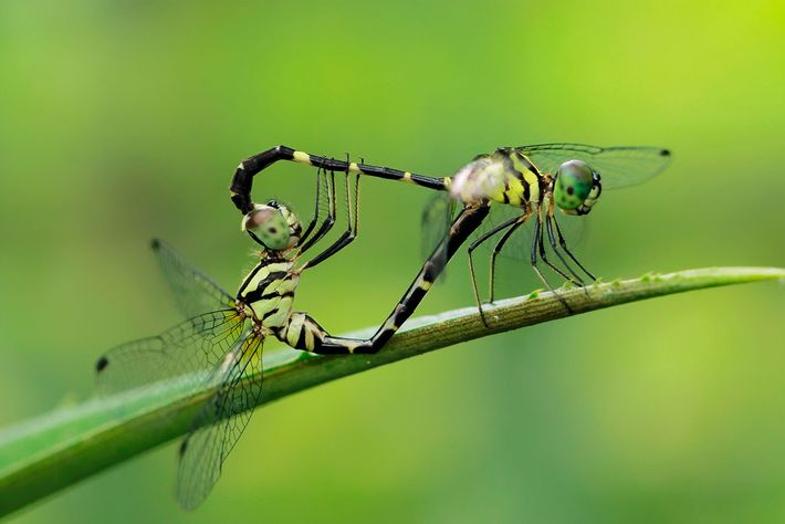Dragonflies mate in Manado, Indonesia. Male dragonflies have two sets of genitals.