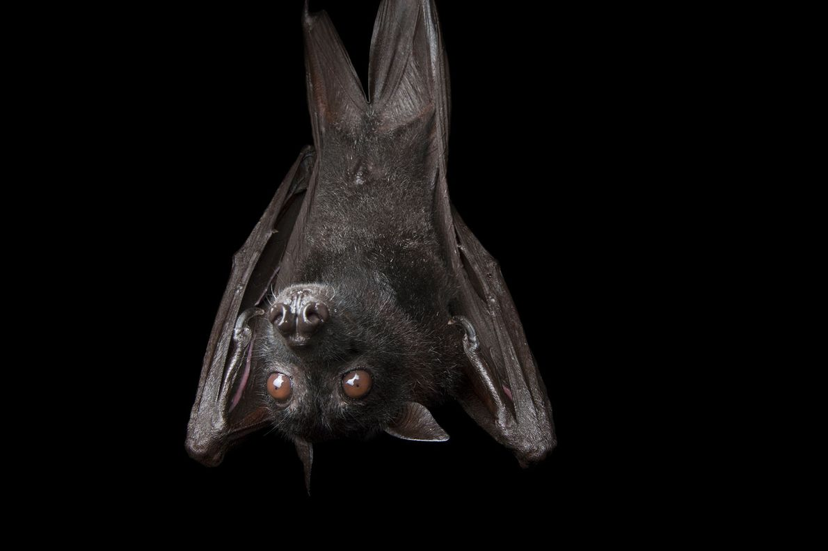 A large flying fox, Pteropus vampyrus, at the Columbus Zoo.