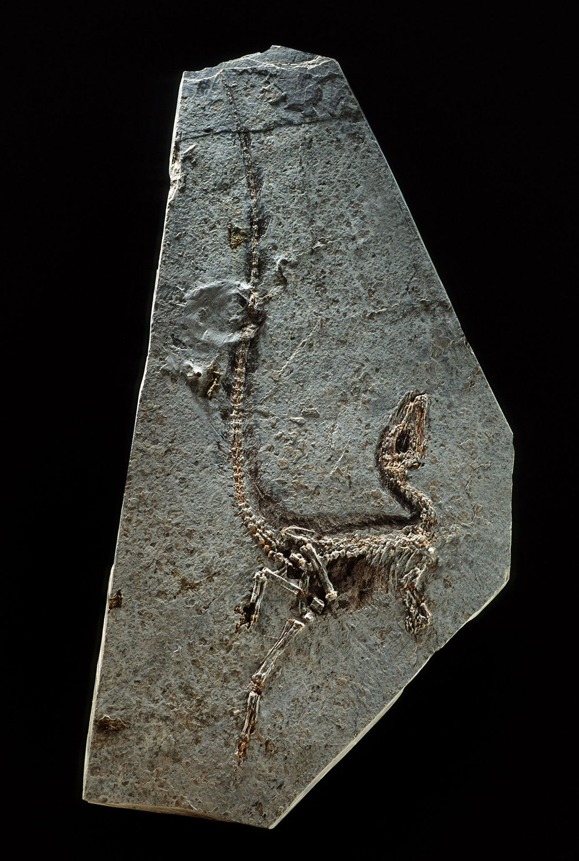 'Sinosauropteryx prima', from China's northeastern province of Liaoning, was found in 1996 and is recognised as ...