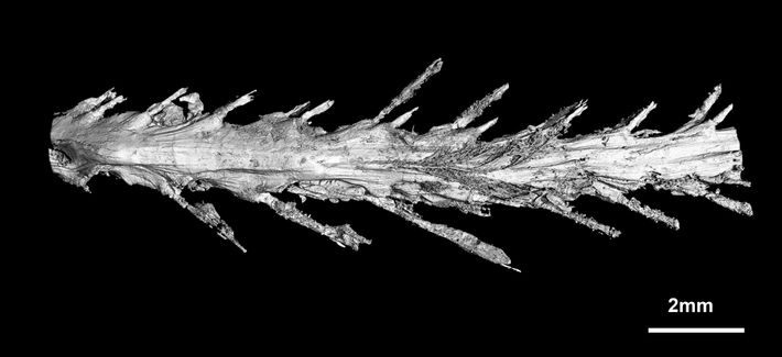 A scan of the underside of the tail shows the feather arrangement.