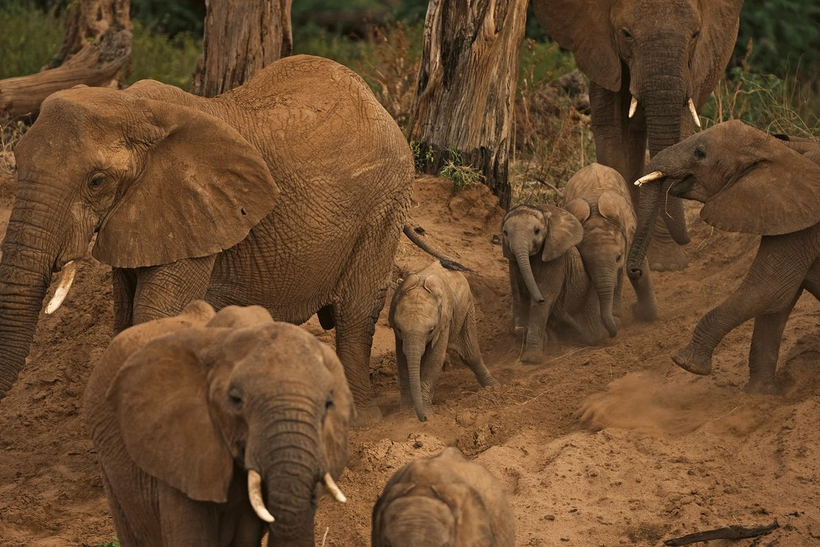 A family of elephants, including newborns, searches for water in Samburu.
