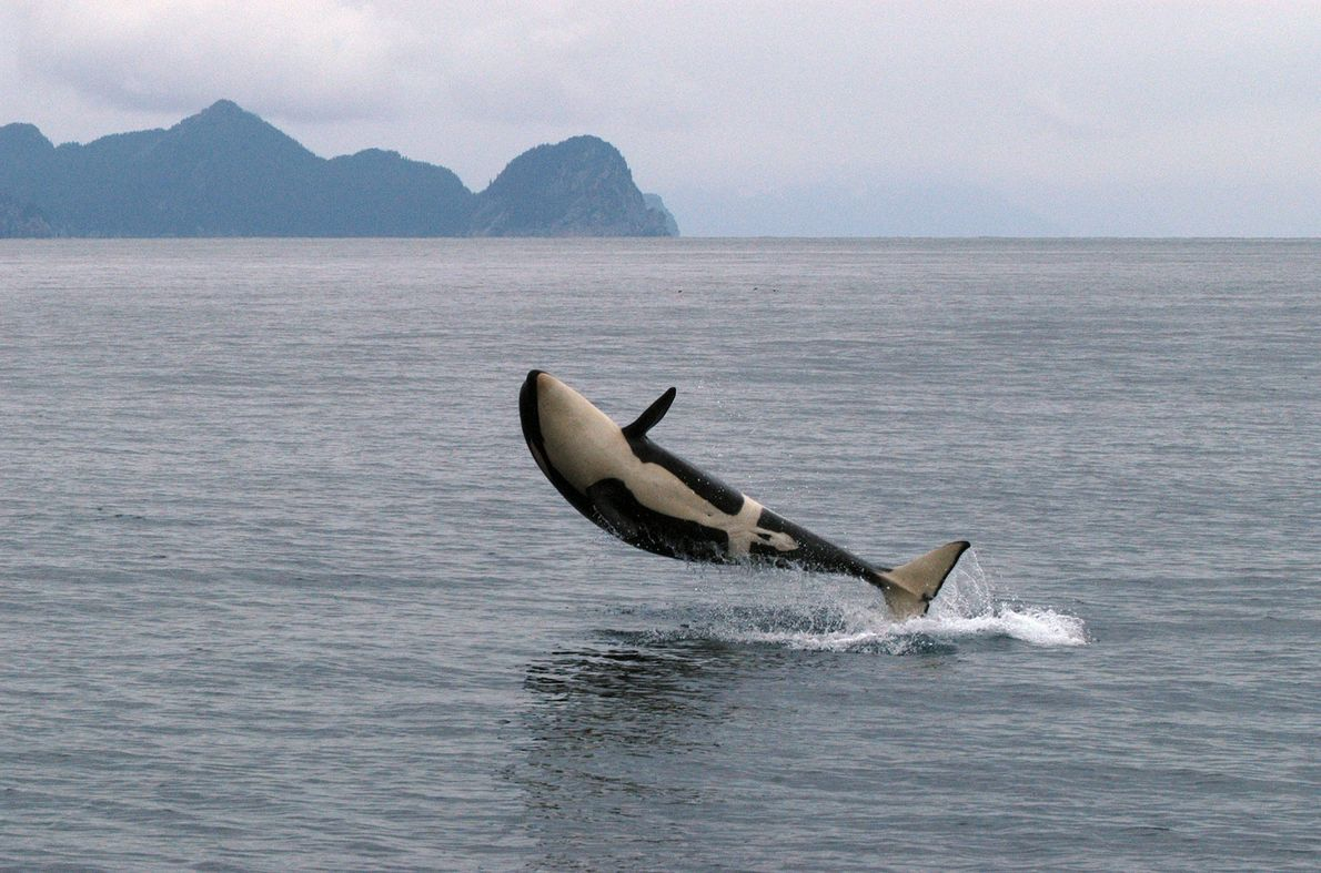 An orca breaches out of the water in Alaska.