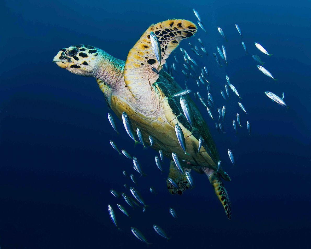 A hawksbill sea turtle swims with baitfish.