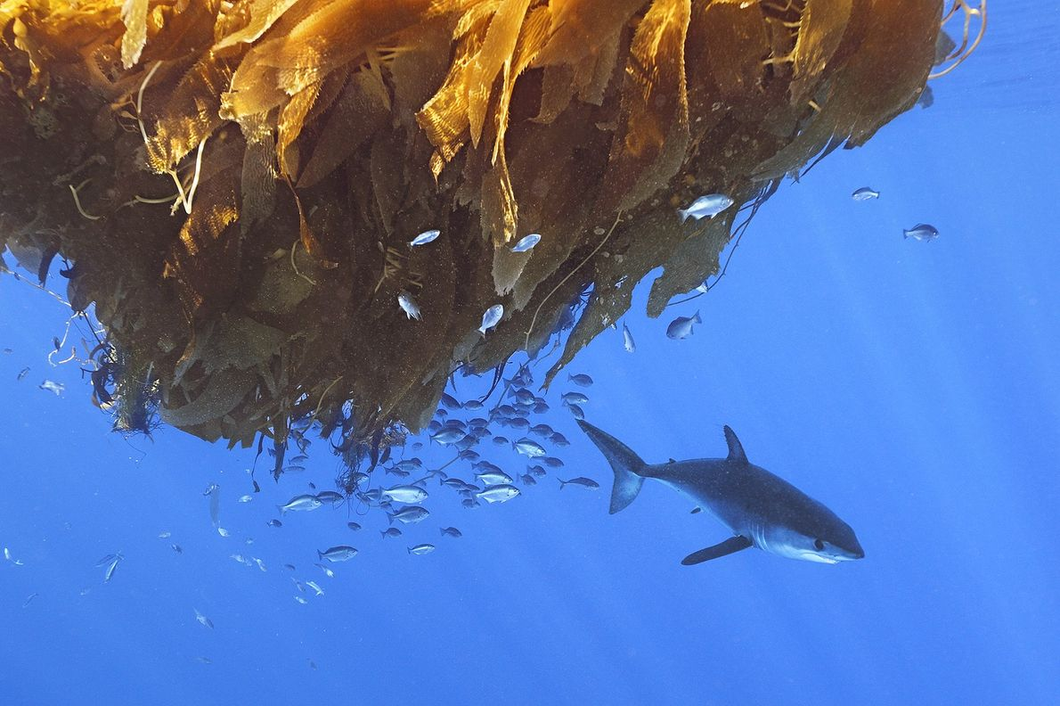 Shortfin mako sharks produce pups in the summer and autumn off the coast of San Diego, ...
