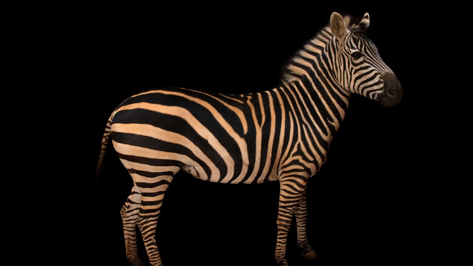 A Burchell's zebra poses at Zoo Atlanta. Many animal emojis are designed to look cute—but are ...