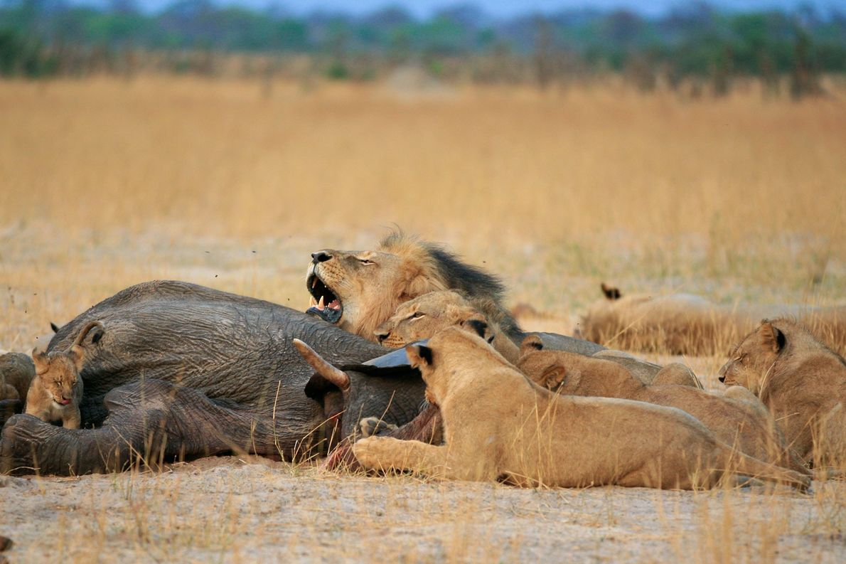The 12-year-old Cecil was well-loved in Zimbabwe. Palmer said in a statement that he had believed ...