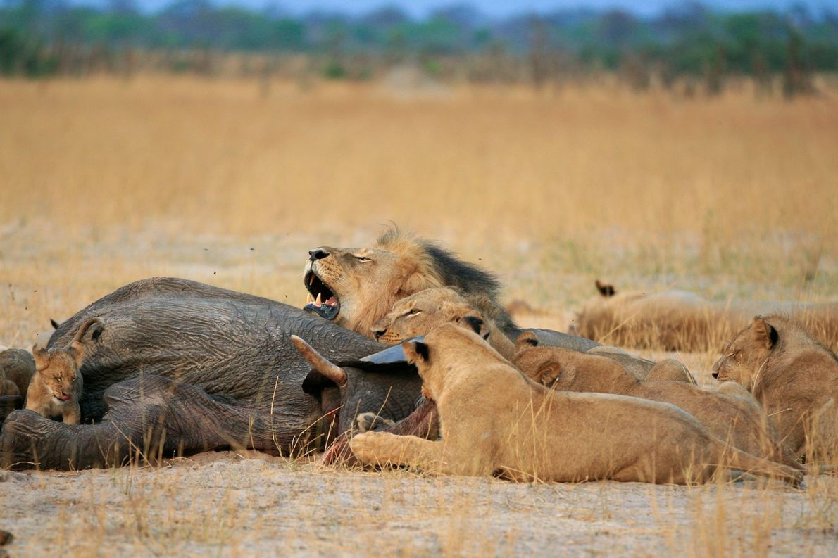 7 Pictures Of Cecil The Lion