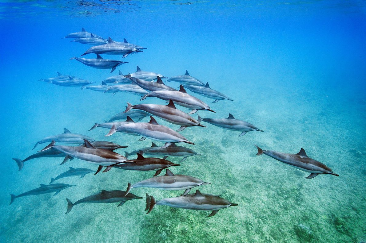 Spinner dolphins (Stenella longirostris), seen off Oahu, Hawaii, are known for leaping out of the water ...