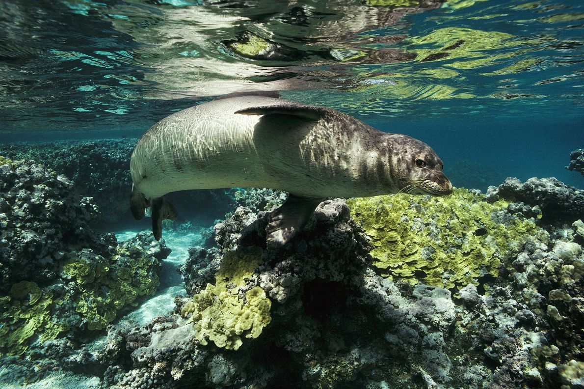 Monk Seal - A Hawaiian monk seal swims in the French Frigate Shoals in the northwestern Hawaii. Monk seals have become critically endangered because of increased ocean pollution, coastal habitat loss, and fishing gear that entangles them - Photograph by Bill Curtsinger, National Geographic Creative
