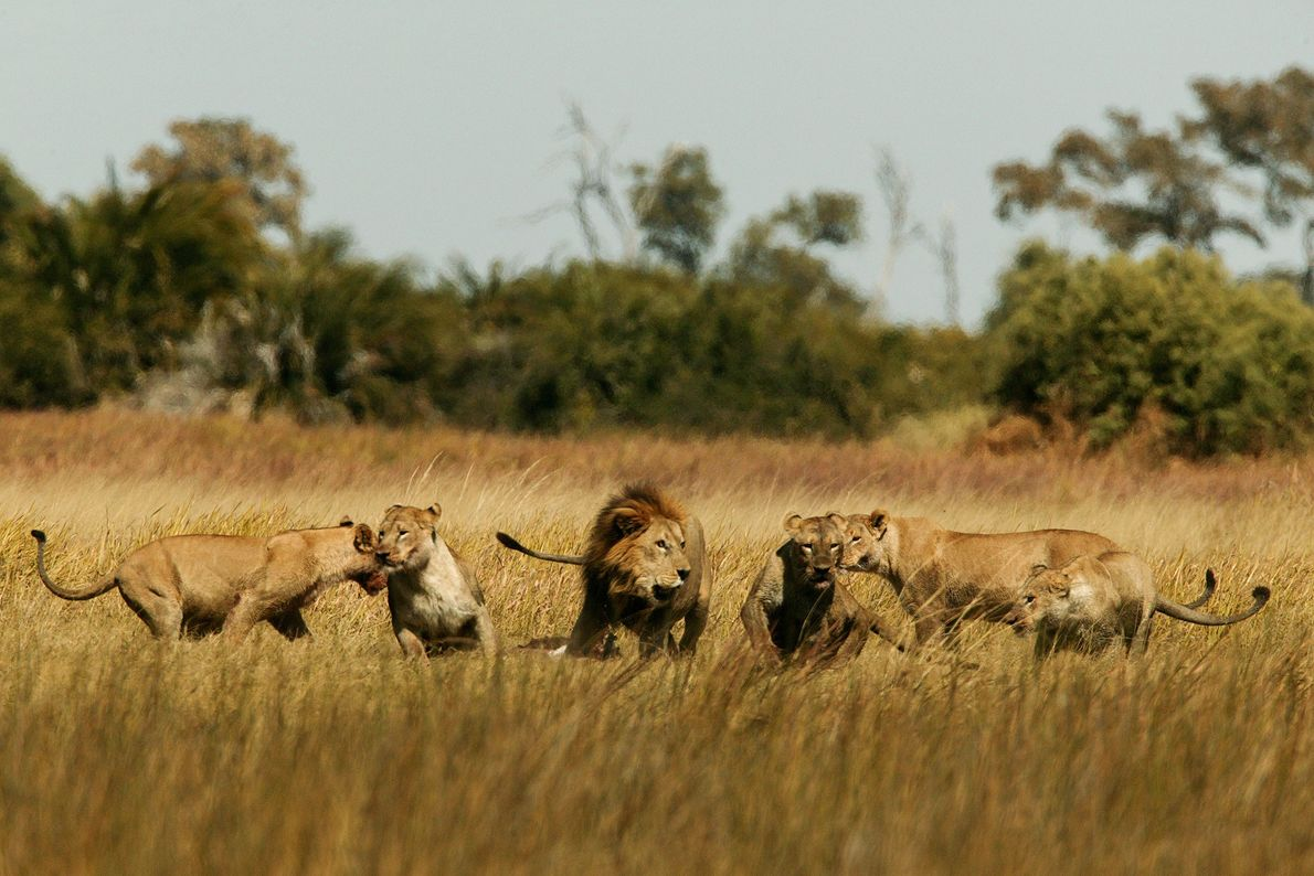 Lions play in the Okavango Delta.