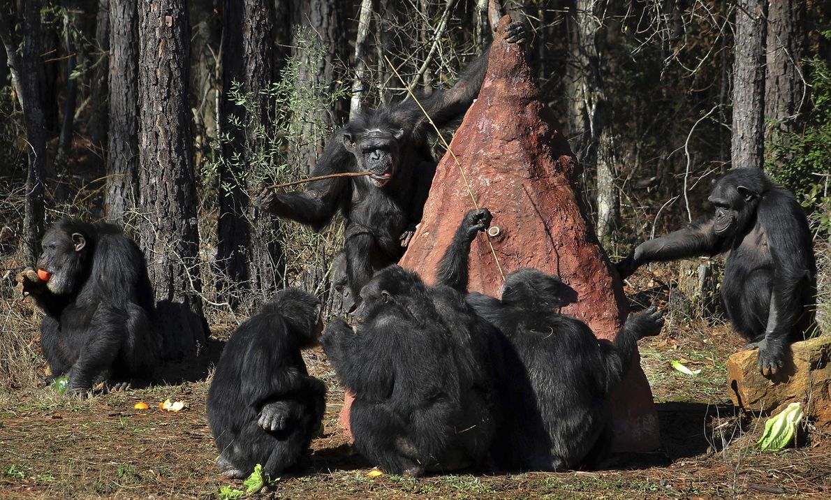 At Chimp Haven, the animals use sticks to poke into a mock termite mound to taste ...