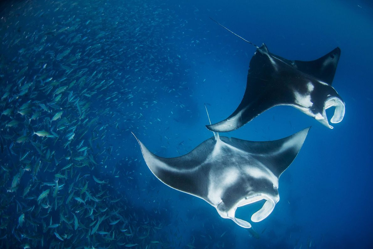 "During a Pristine Seas dive, two giant manta rays cruised by a fish ""bait ball,"" or ..."