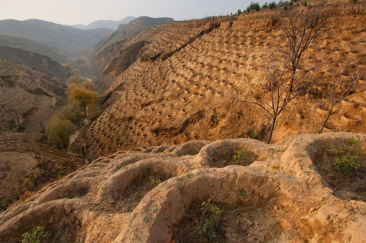 Hillsides in Fo Tang Yan—a village in China's heavily degraded Loess Plateau region—are stippled with young ...