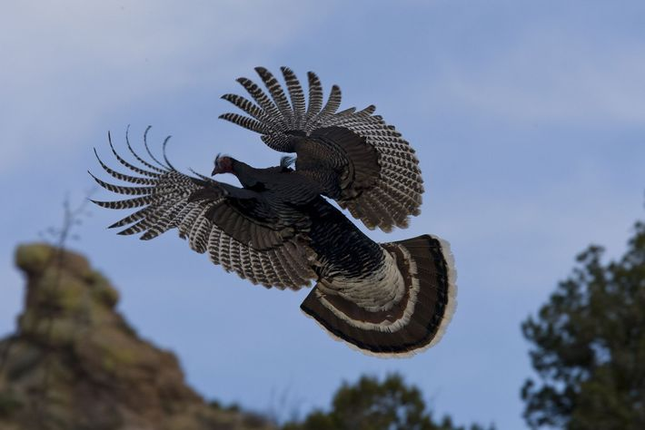 Wild turkeys are able to fly short distances at considerable speed. They can also run and ...