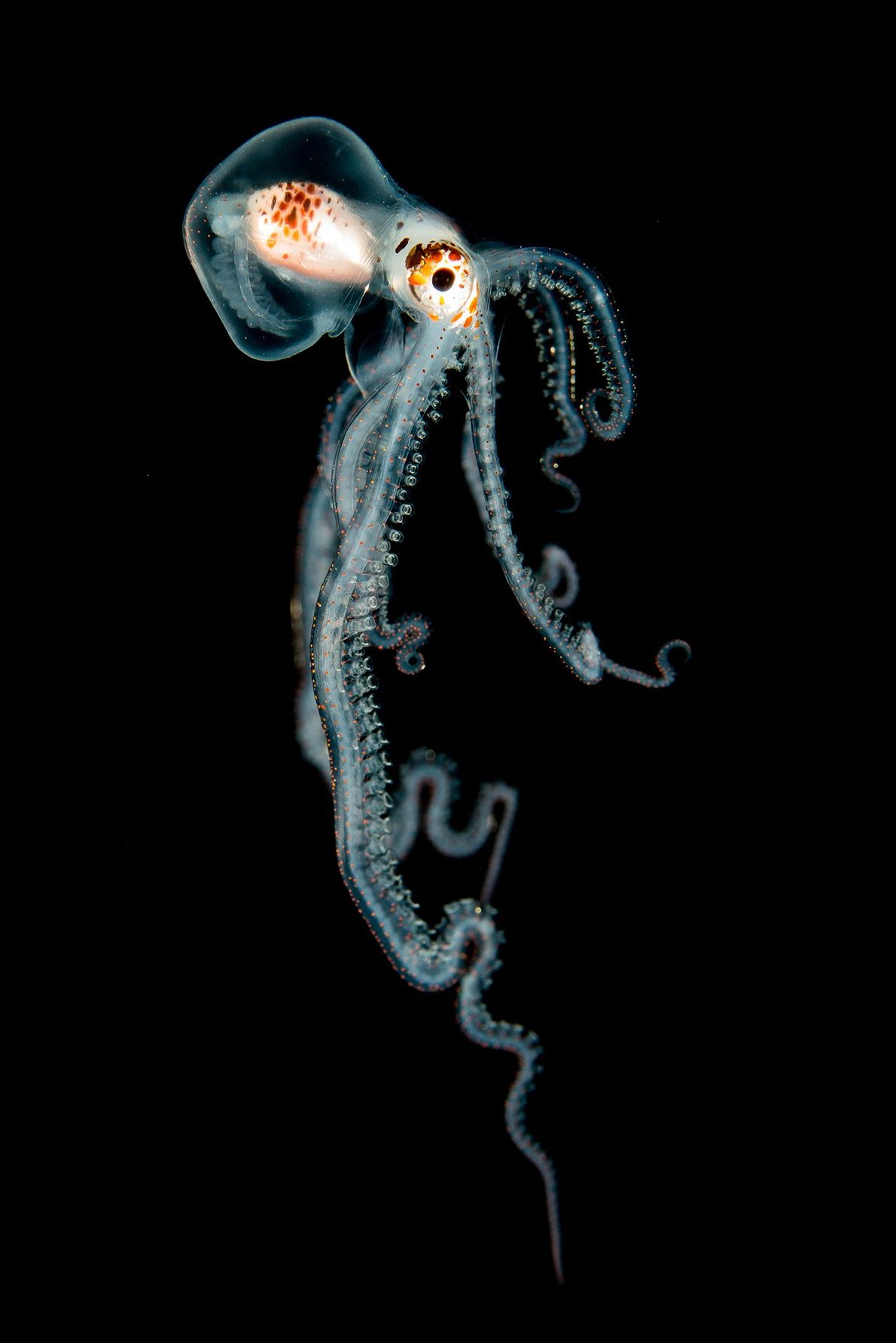 Pelagic Octopus at Night