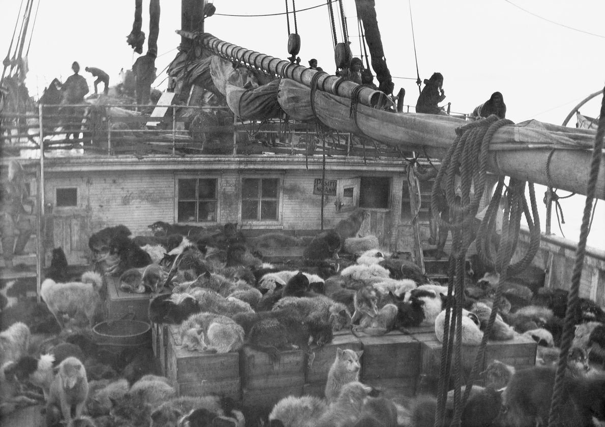 """In 1908, explorer Robert E. Peary set sail for the North Pole with 246 dogs. """"I ..."""