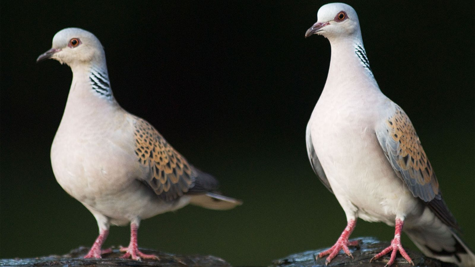 A pair of European turtle doves rest in Hungary. The birds make a call that sounds ...
