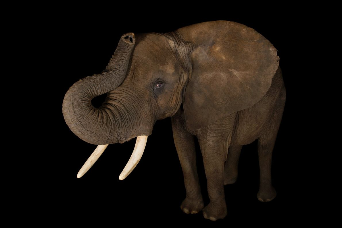 African elephants are listed as vulnerable because their tusks make them targets for poachers.