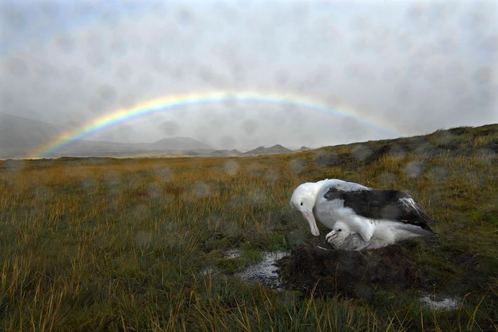 A wandering albatross parent shelters its chick from the rain Marion Island, where precipitation is very ...