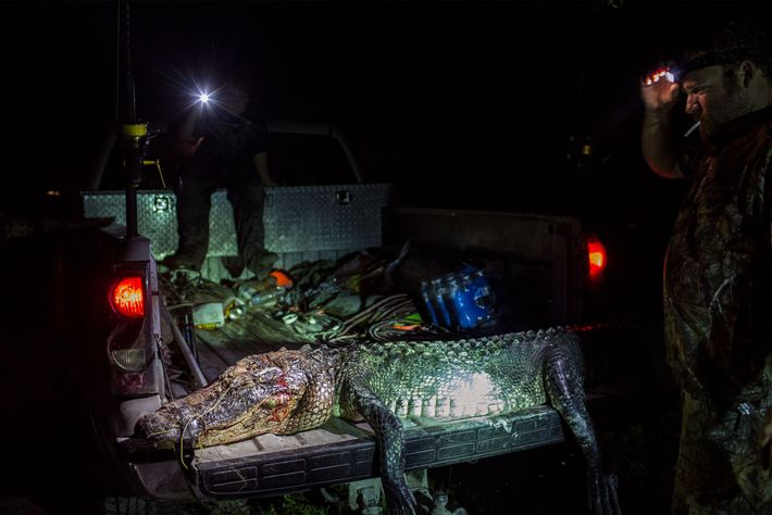 This gator sprawled on the tailgate of a truck was about 2.5 metres from snout to ...