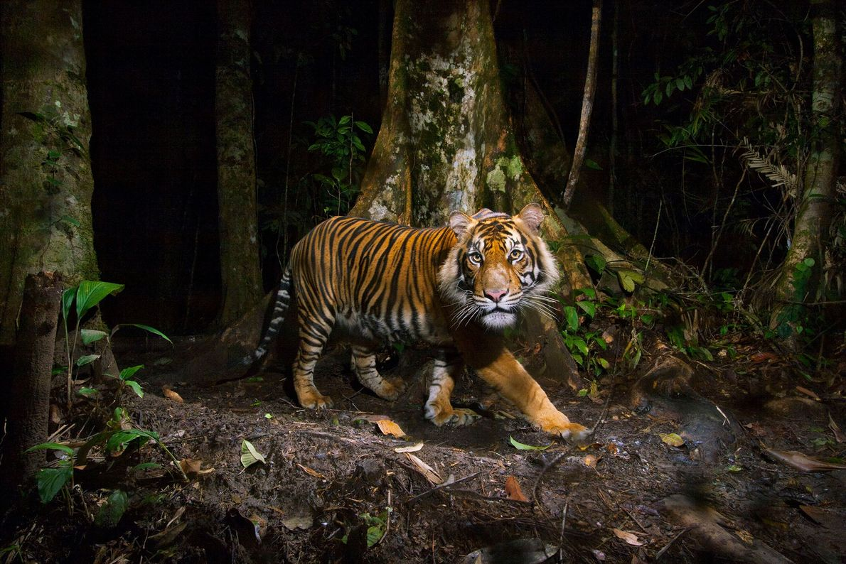 A remote camera captures a Sumatran tiger while hunting in Sumatra, Indonesia.
