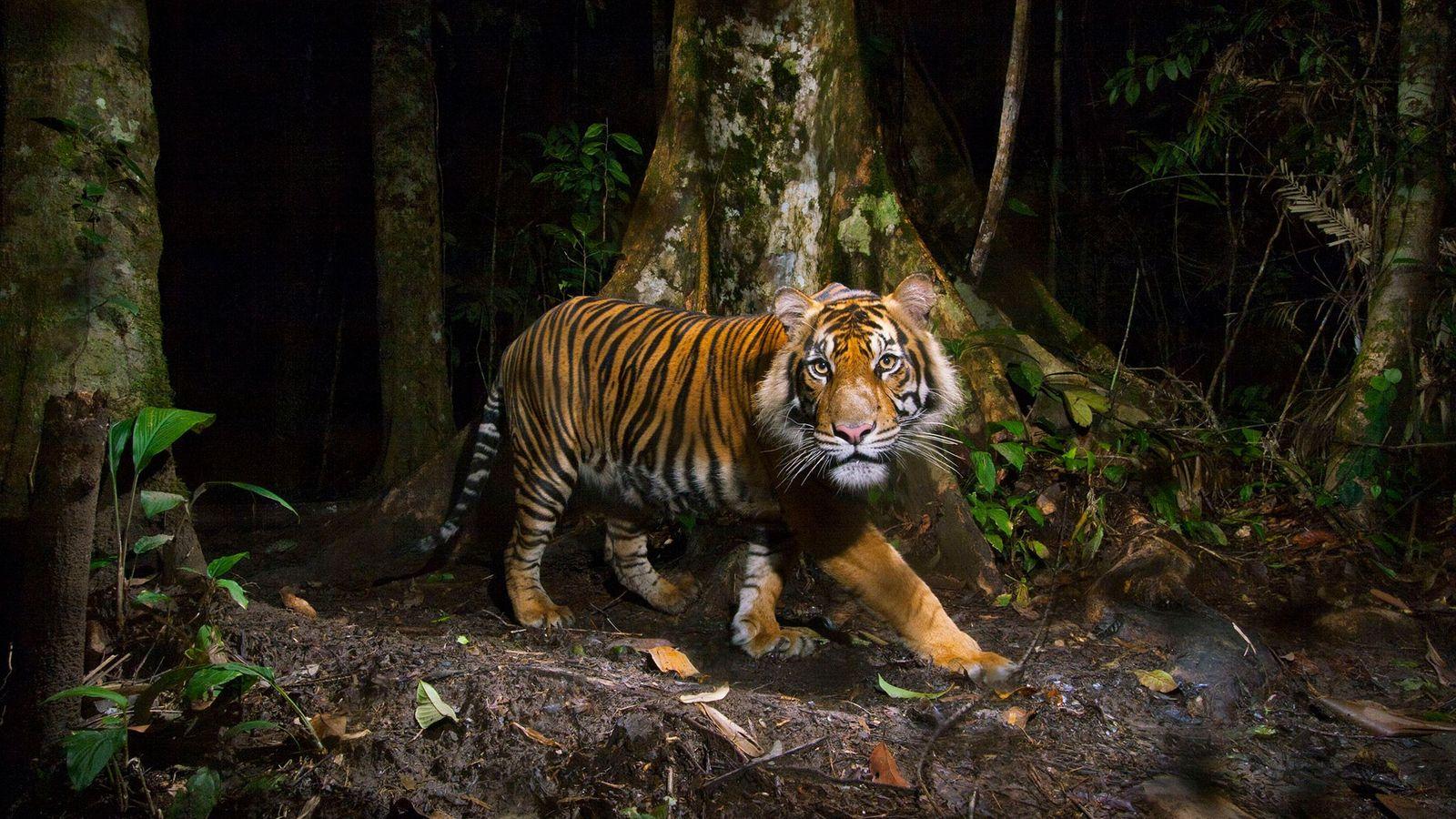 A remote camera captures a Sumatran tiger while hunting in Sumatra, Indonesia.