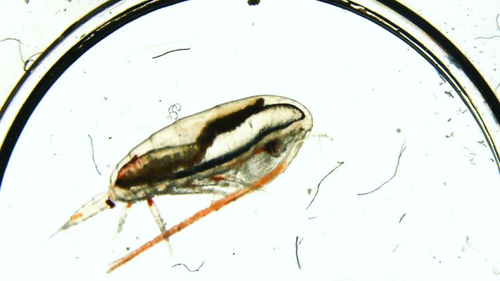 """Describing zooplankton, seen here, scientist Gier Johnsen says, """"They provide the food for all of the ..."""