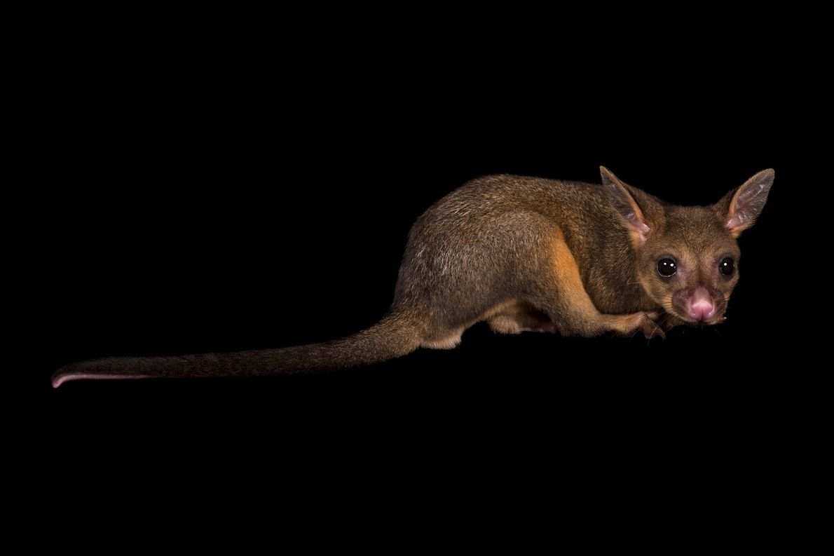 Brushtail possums, which have an extensive range across Australia, including in the fire zones, have demonstrated ...