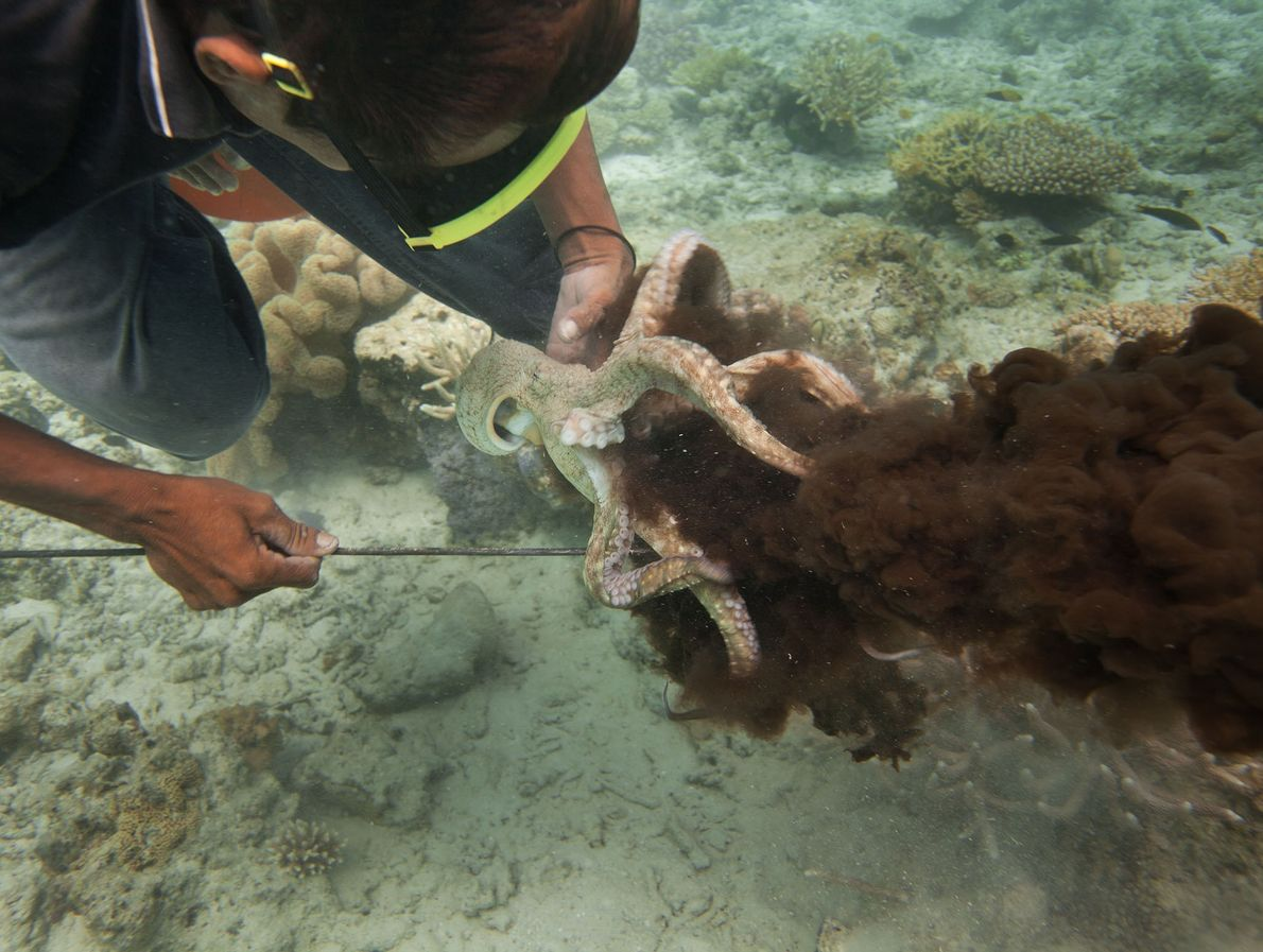 Almost all Bajau food, including octopus, comes from the sea.