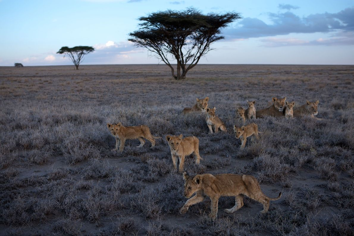 Lionesses and cubs of the Vumbi pride rest in the Serengeti plains. There are around 20,000 ...