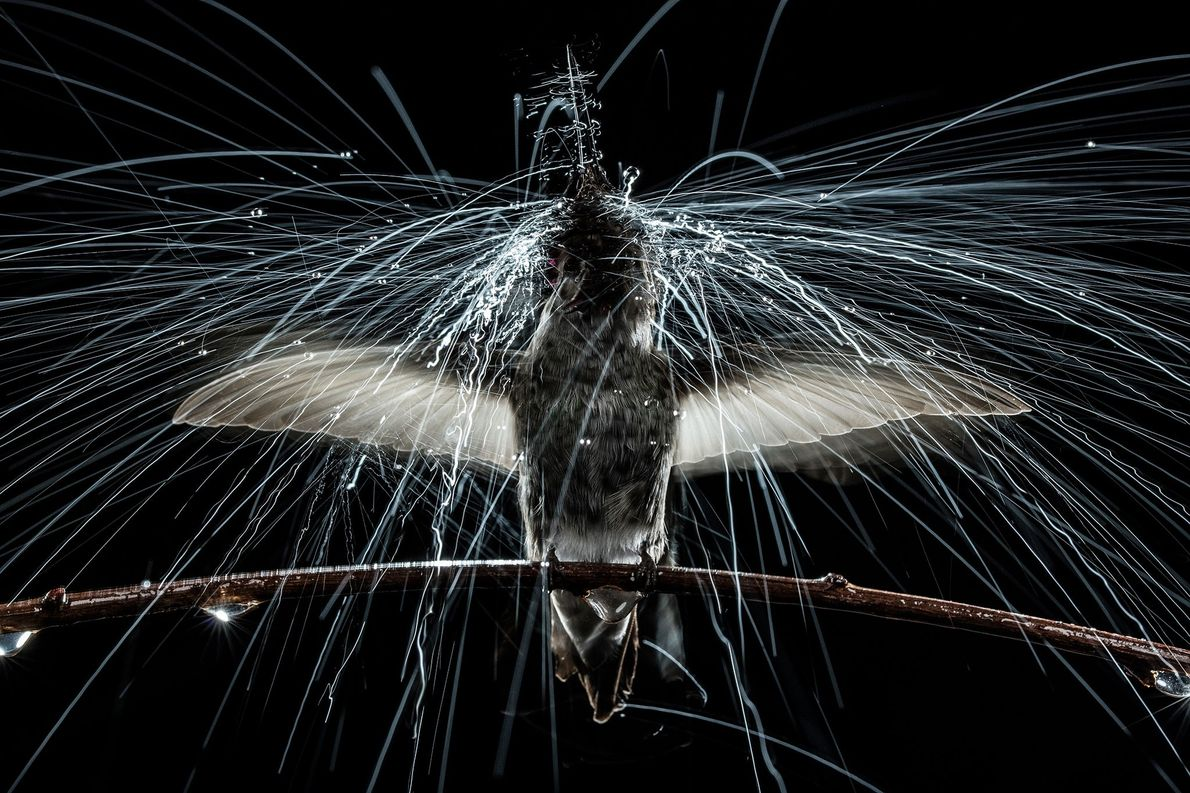 Anna's hummingbird shaking under simulated rain, University of California, Berkeley, United States.