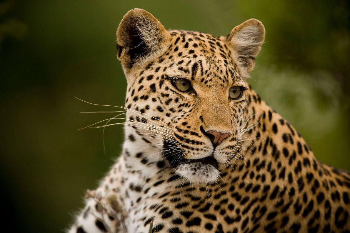 Portrait of a resting but alert leopard (Panthera pardus) on Chiefs Island, in Botswana's Okavango Delta.