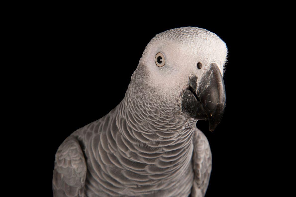 An African grey parrot in Thorneside, Queensland, Australia.