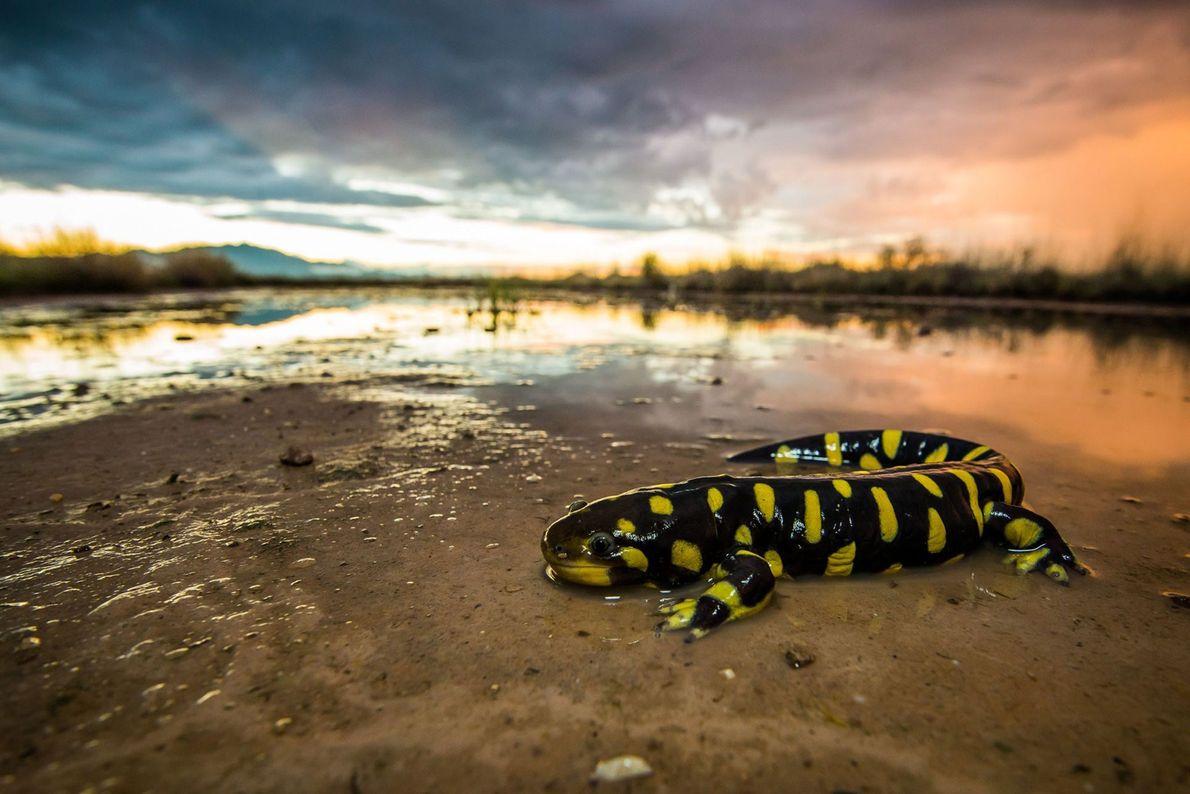 Tiger salamander. Willcox, Arizona, United States