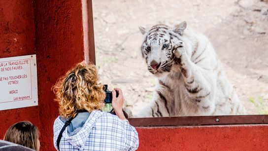 At a zoo in France, a woman photographs a white tiger behind glass. A sign says ...